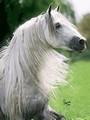 bílý jezdec